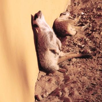 North African Meerkats!